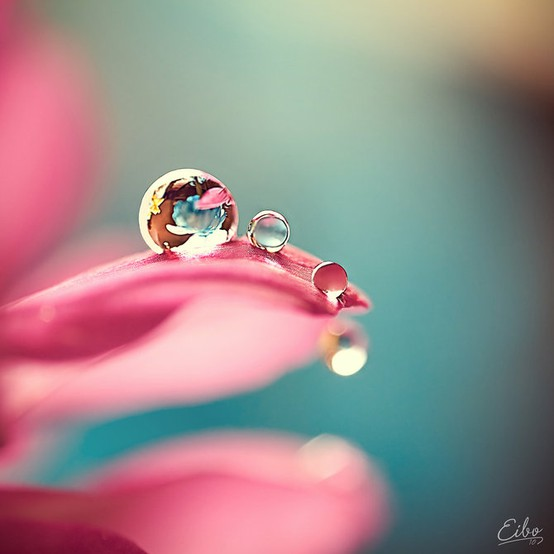 dew, dew drop, pearl, petal, pink, reflection, round, water