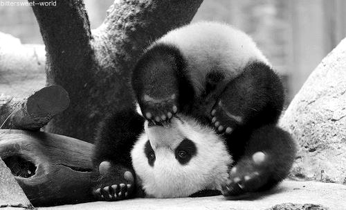 animals, black and white, cute, panda