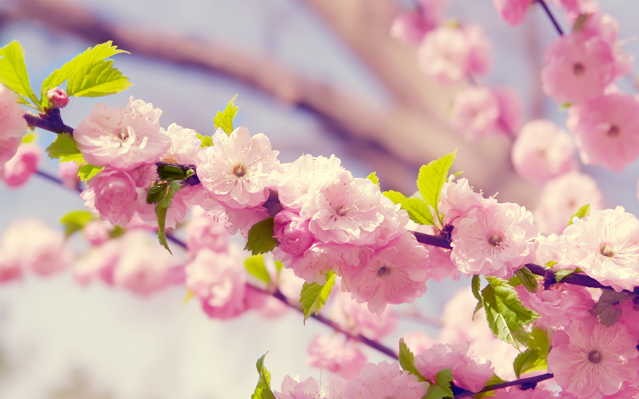 blossoms, cherry, cherry blossoms and flower